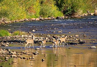 Mule Deer Herd Photograph - Crossing The River by Donna Kennedy