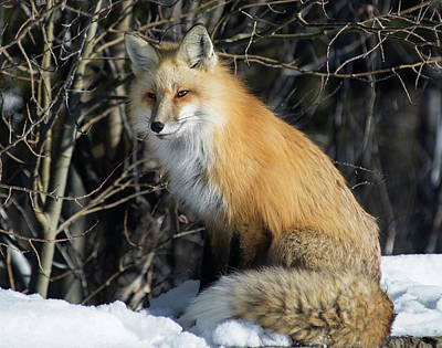 Photograph - Crossroads With A Red Fox by Michael Balen