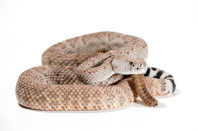Studio Shot Photograph - Crotalus Atrox by Thor Hakonsen