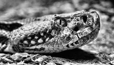 Rattle Snake Photograph - Crotalus Horridus by JC Findley