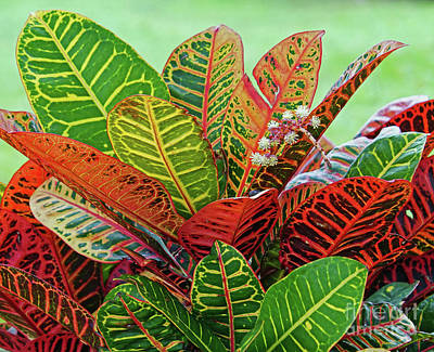 Photograph - Colorful Croton Bloom by Larry Nieland