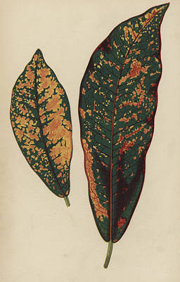 Fauna Painting - Croton Pictum by English School
