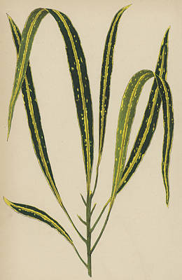 Garden Drawing - Croton Variegatum Angustifolium by English School