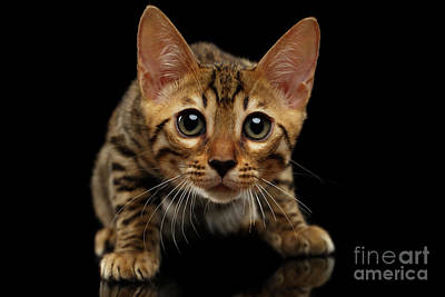 Snake Photograph - Crouching Bengal Kitty On Black  by Sergey Taran
