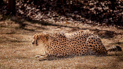 Photograph - Crouching Cheetah by Keith Allen