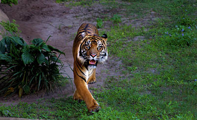 Disney Photograph - Crouching Tiger  by Luis Rosario