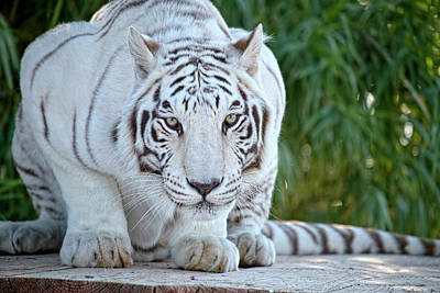 Photograph - Crouching White Tiger by Lucinda Walter