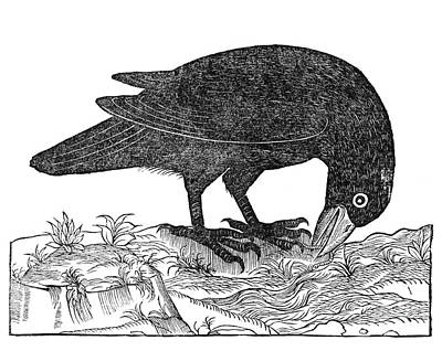 Bird And Worm Photograph - Crow, 1555 by Middle Temple Library