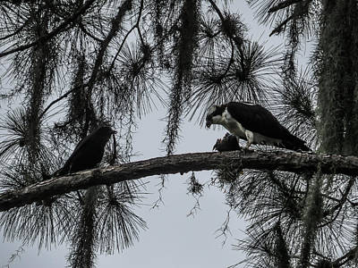 Eagles Photograph - Crow And Osprey by Zina Stromberg