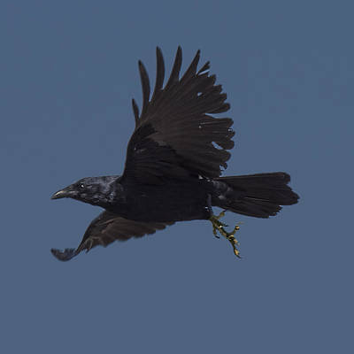 Photograph - Crow Flying by William Bitman