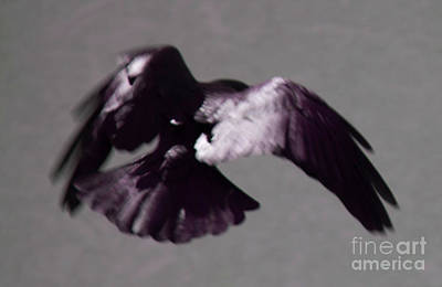 Photograph - Crow In Flight by Donna L Munro