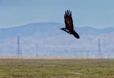 Photograph - Crow In Flight by Gene Parks