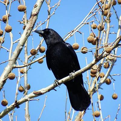 Ornithology Photograph - Crow In The Sycamore Tree.  The Sun by Stacie York