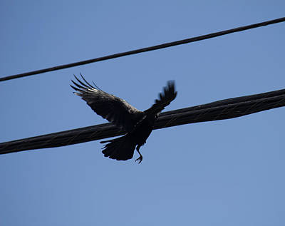 Photograph - Crow Landing On A Wire by Donna L Munro