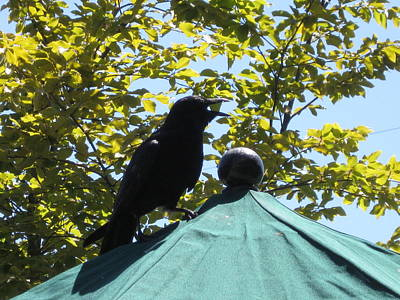 Photograph - Crow On An Umbrella With Food by AJ Brown