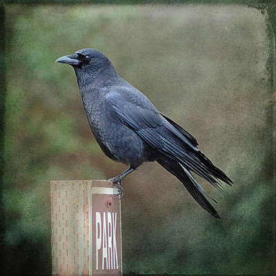 Photograph - Crow Parking by Sally Banfill