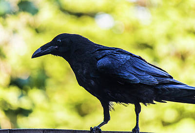 Art Print featuring the photograph Crow Perched by Jonny D
