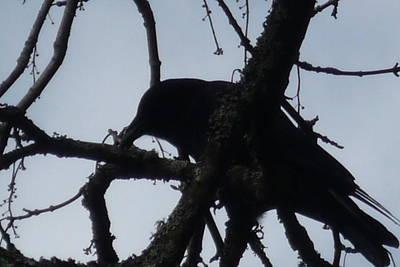 Crow Silouette Art Print by Dawna Raven Sky