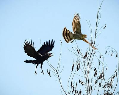 Photograph - Crow Vs Hawk by Amy Porter