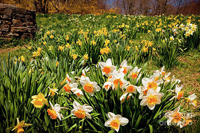 Photograph - Crowd Of Daffodils by Susan Cole Kelly