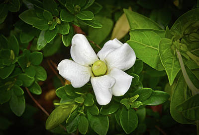 Photograph - Crown Jewel Gardenia 001 by George Bostian