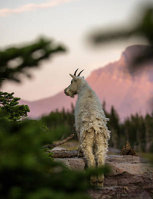 Mountain Goat Photograph - Mountain Goat // Hidden Lake, Glacier National Park  by Nicholas Parker