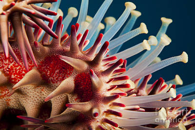 Undersea Photograph - Crown Of Thorns Close-up by Dave Fleetham - Printscapes