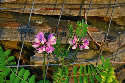 Photograph - Crown Vetch 1 by Kathryn Meyer