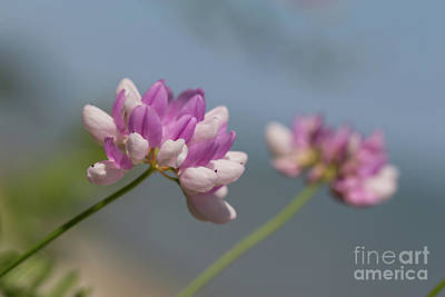 Nikki Vig Royalty-Free and Rights-Managed Images - Crown Vetch 2 by Nikki Vig