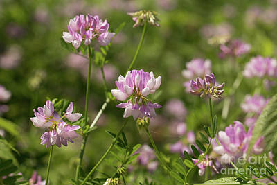 Nikki Vig Royalty-Free and Rights-Managed Images - Crown Vetch  by Nikki Vig
