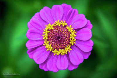 Photograph - Crowned Bloom Zinnia by LeeAnn McLaneGoetz McLaneGoetzStudioLLCcom