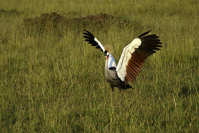 Photograph - Crowned Crane Display by Michele Burgess
