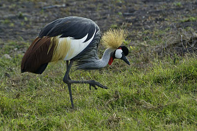 Photograph - Crowned Crane by Michele Burgess