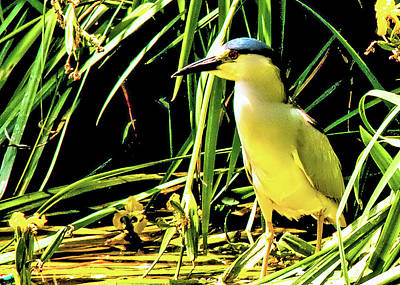Photograph - Crowned Night Heron by Joseph Hollingsworth