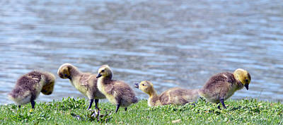 Photograph - Crowned Princes Of The Goslings by Brent Dolliver