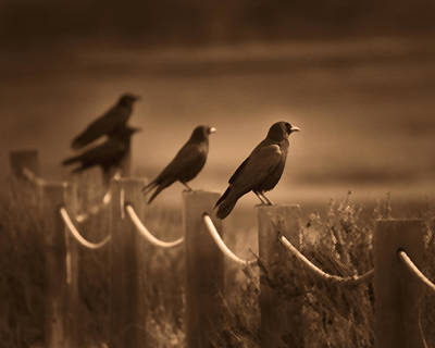 Photograph - Crows by Dusty Wynne