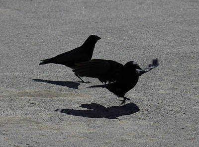 Crow Photograph - Crows Landing On Pavement by Donna Munro