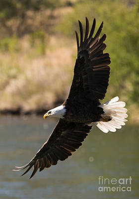 Eagle Photograph - Cruising The River by Mike Dawson