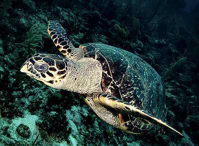 Photograph - Cruising Turtle by Jean Noren