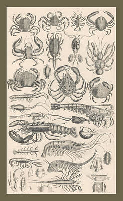 Horseshoe Crab Drawing - Crustacea by Dreyer Wildlife Print Collections