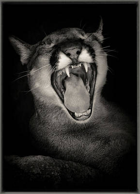 Photograph - Cruz Yawning by Elaine Malott