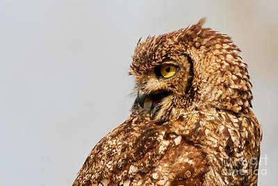 Photograph - Crying Spotted Eagle-owl  by Nick Biemans