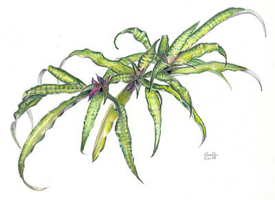 Painting - Cryptanthus Fred Ross by Penrith Goff