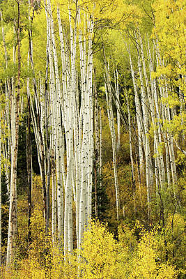 Photograph - Crystal Aspens by Johnny Adolphson