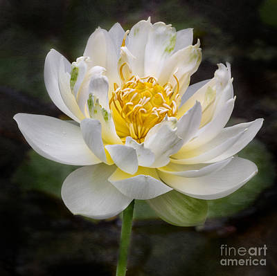 Caravaggio - Crystal Beauty Lotus by Jerry Fornarotto