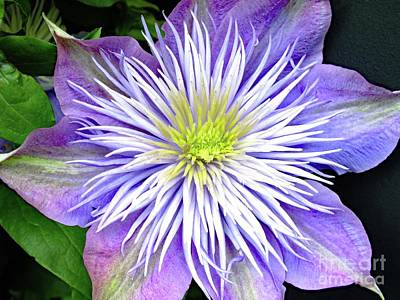 Summer Trends 18 - Beautiful Crystal Fountain Clematis by Cindy Treger