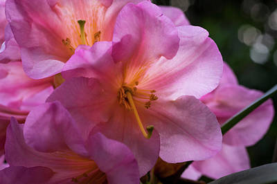 Photograph - Crystal Gardens Rhodies by Steven Clark