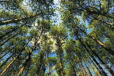 Photograph - Crystal Lake Il Pine Grove And Sky by Tom Jelen