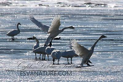 Photograph - Crystal Swan 9169 by Captain Debbie Ritter