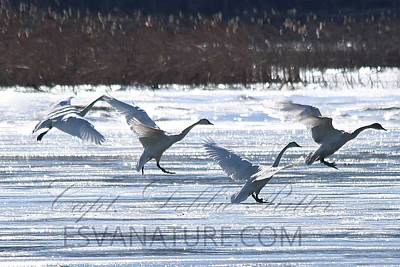Photograph - Crystal Swans 0005 by Captain Debbie Ritter